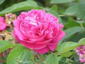 Rose, aromaterapi, æteriske olier, duftolier, damascena rose, damashena rose, blomster, pink rose